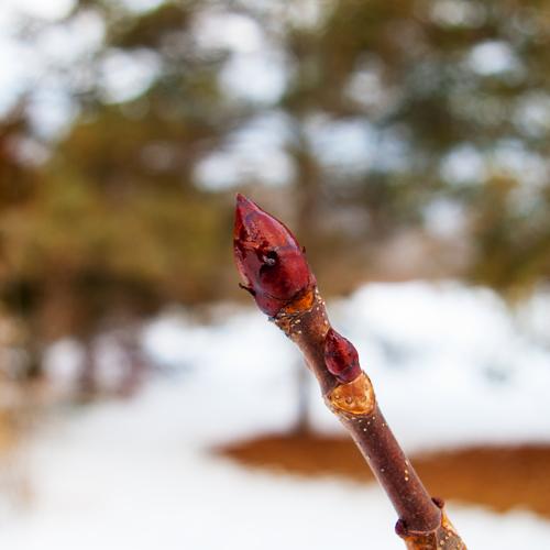 Horse Chestnut bud February 17, 2018