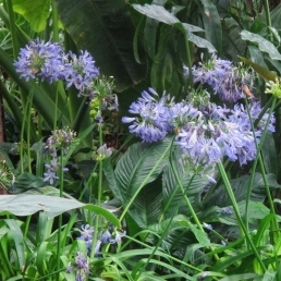 Agapanthus at Allan Gardens March 2018