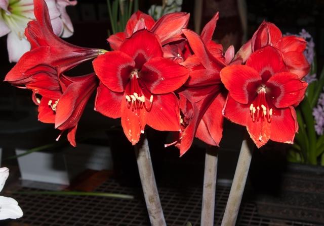 Amaryllis at Canada Blooms 1