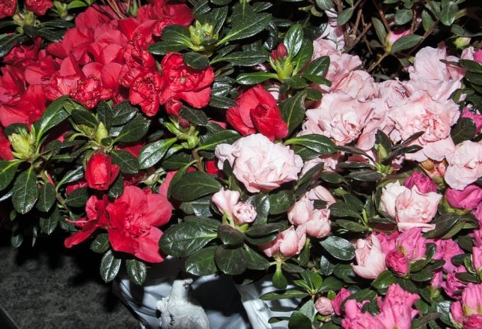 Azalea at Canada Blooms