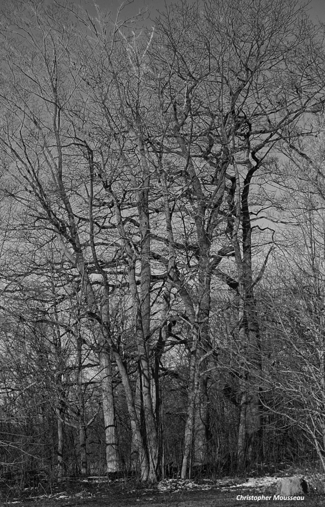 back field trees B & W March 4 2018 b