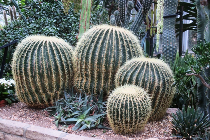 Cactus at Allan Gardens March 7 2018 small