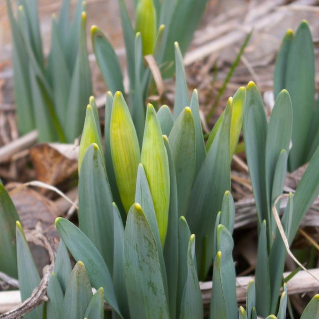 Daffodil flower buds March 30 2018 small