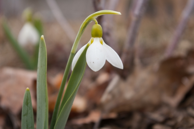 Galanthus elwesii March 30 2018 small