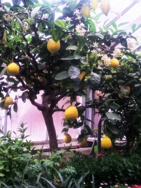 Lemon Tree in Allan Gardens March 7 2018