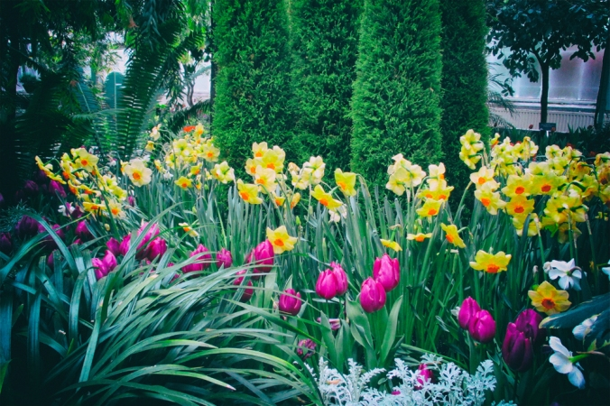 Narcissus and Tulips at Allan Gardens March 2018 small