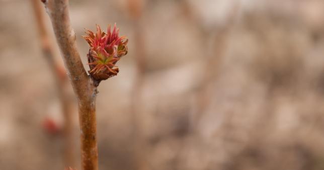 Sorbaria sorbifolia bud March 30 2018 small 2