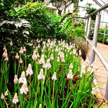 white Muscari at Allan Gardens