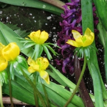 Winter Aconite and purple Hyacinth at Allan Gardens