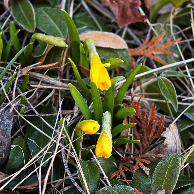 1st Tete a Tete daffodils April 21 2018