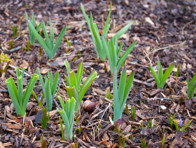 Allium and Chianodoxa April 14 2018
