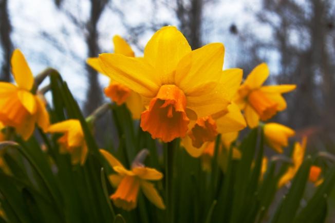 botanical Narcisus April 28 2018 small