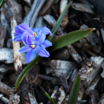 Chionodoxa luciliae April 21 2018 small 2