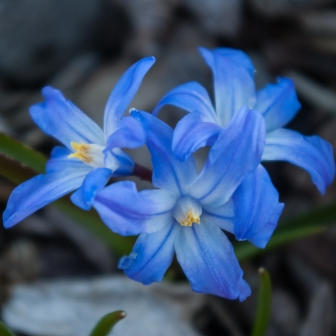 Chionodoxa luciliae April 21 2018 small
