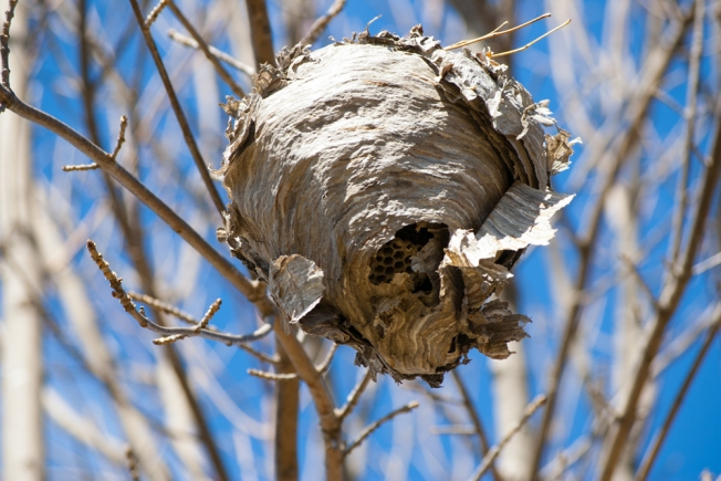 disintegrating bees nest April 7 2018 small
