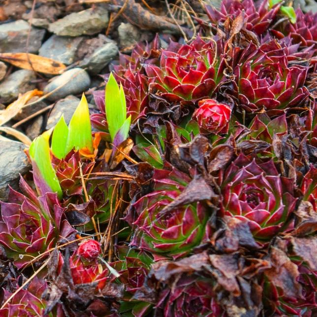 emerging Iris April 14 2018 b