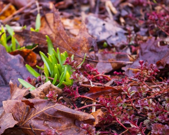 emerging Tete a Tete daffodils Apeil 14 2018 b small