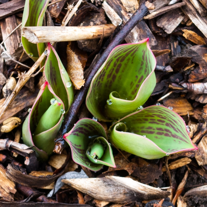 emerging Tulips April 6 2018