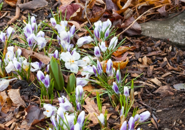 Fritillaria persica & Crocus Prins Claus April 14 2018 small