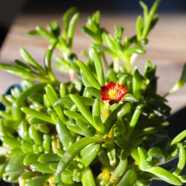 Ice Plant flower April 21 2018