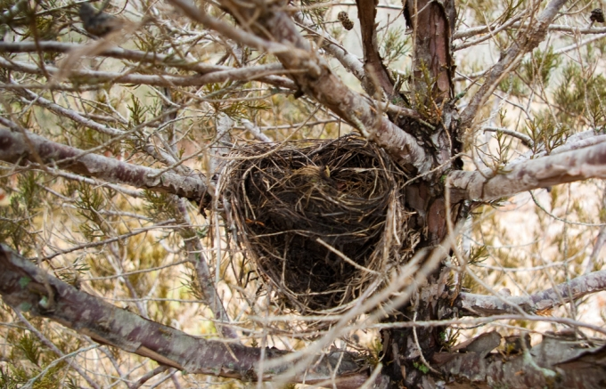 nest in Juniper April 14 2018 small