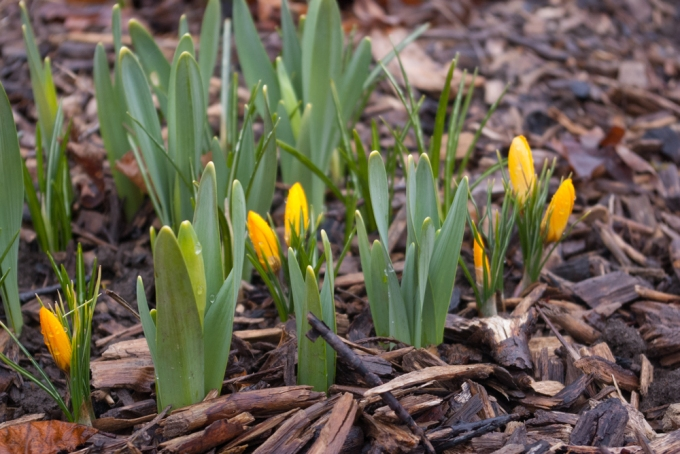 orange crocus and daffodils april 14 2018