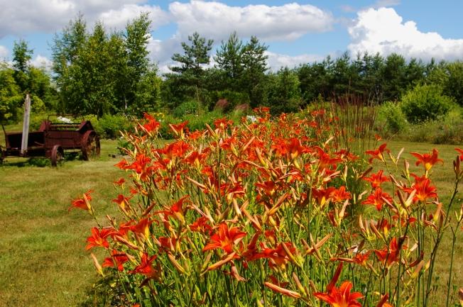 orange daylilies in back field July 19 2009 small