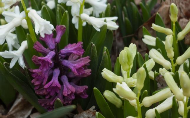 Purple Hyacinth April 28 2018