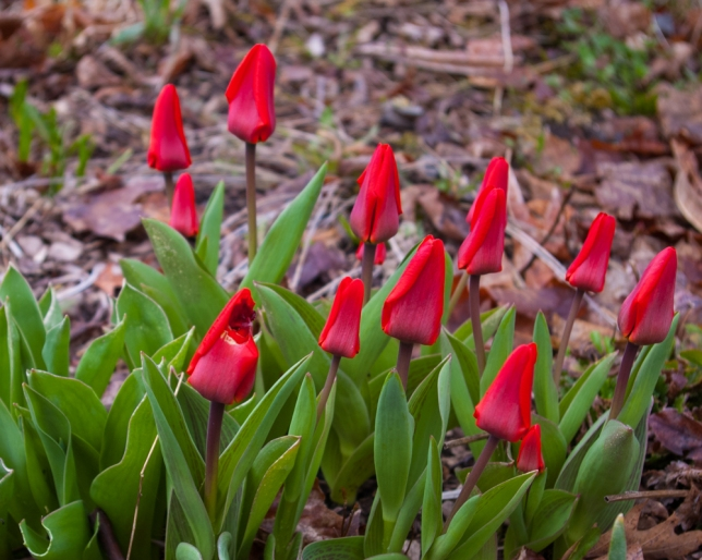 Red Tulips April 28 2018