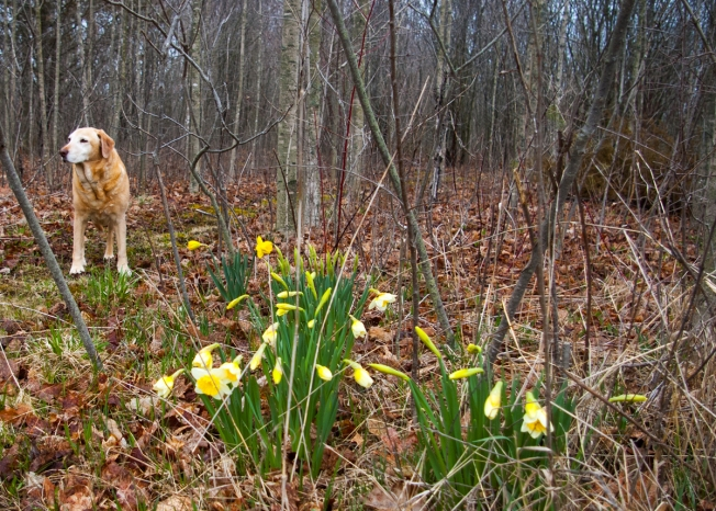 Shileau and daffs in woods April 28 2018