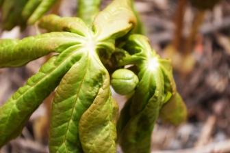 Canada Mayapples May 12 2018 flower bud small