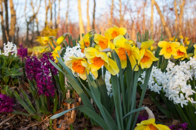daffs and Hyacinth May 5 2018 small