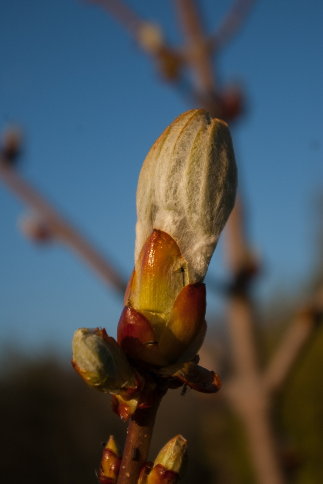 emerging Chestnut bud May 5 2018 small
