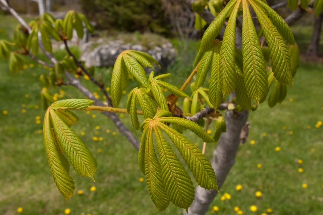 Horse Chestnut leaves opening May 1 2018 small