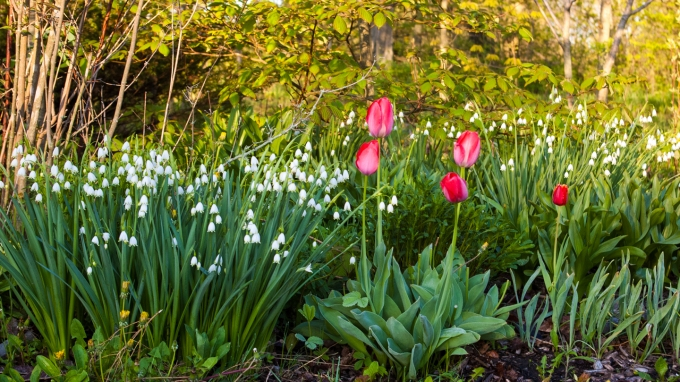 Leucojum and Tulips May 21 2018