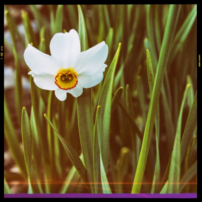 Narcissus recurvis May 18 2018 vintage camera small