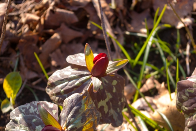 red Trillium May 6 2018.jpg small