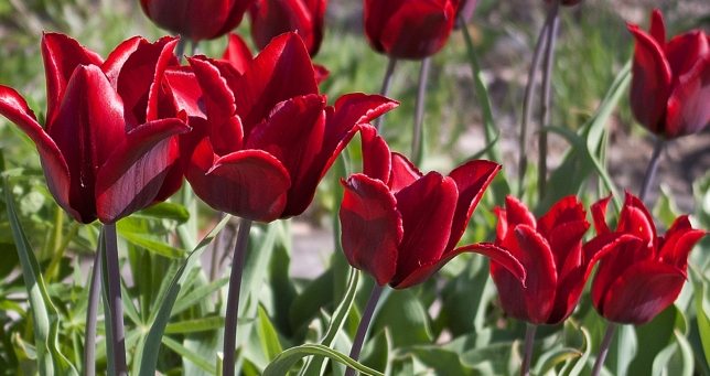red Tulips May 18 2018 b small