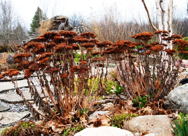 Sedum to be used as mulch