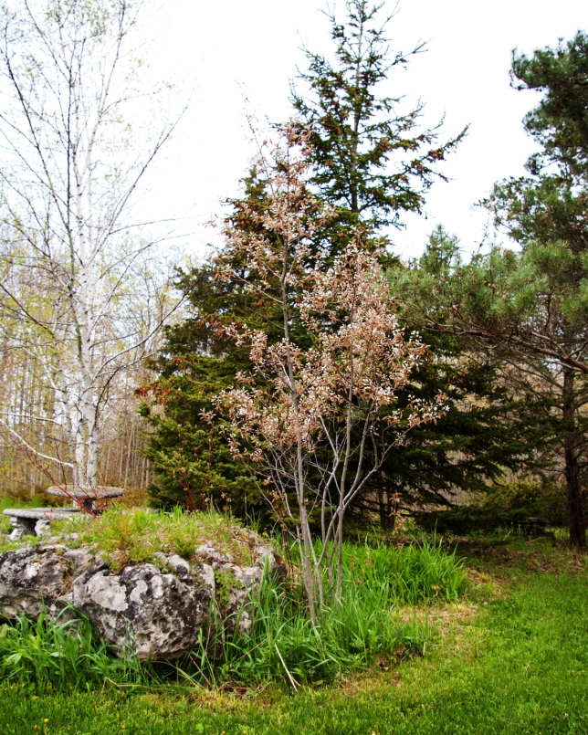 Serviceberry and Rock May 16 2018 small