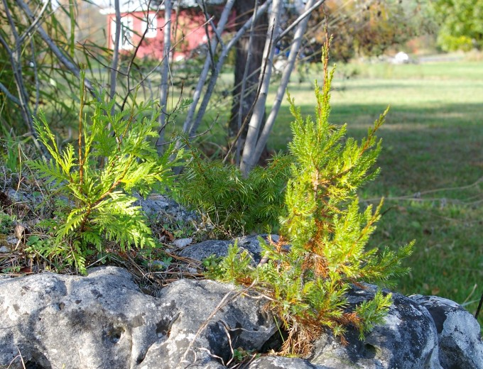 Three Dwarf Conifers on the Rock Oct 19 2017