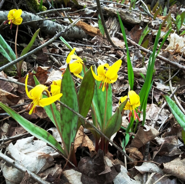 Trout Lily - Erythronium americanum - Trout Lily May 6 2018