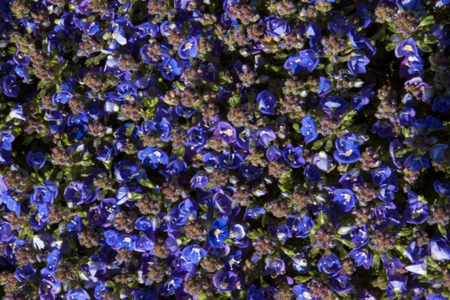 Veronica Whitley's Speedwell closeup May 18 2018 b small