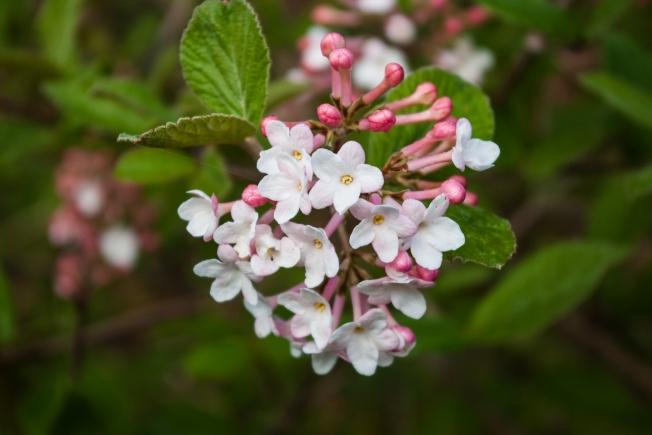 Viburnum carlesii May 20 2018 small
