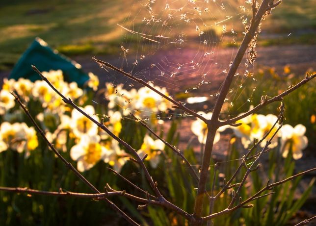 Vibutnum, spring morning with midges and Narcissus May 5 2018 small