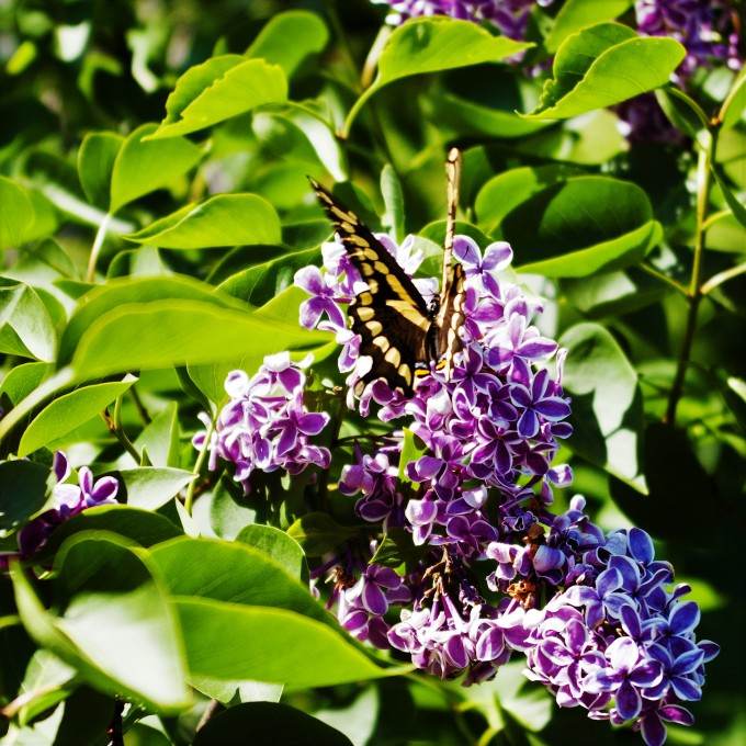 1st Swallowtail Butterfly of the year June 8 2018 b