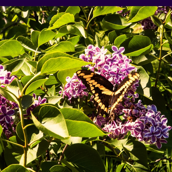 1st Swallowtail Butterfly of the year June 8 2018 sm