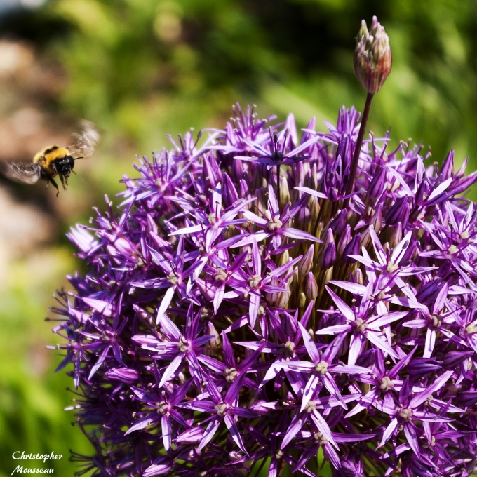 Allium & Bee Coming in for a Landing June 8 2018 sm