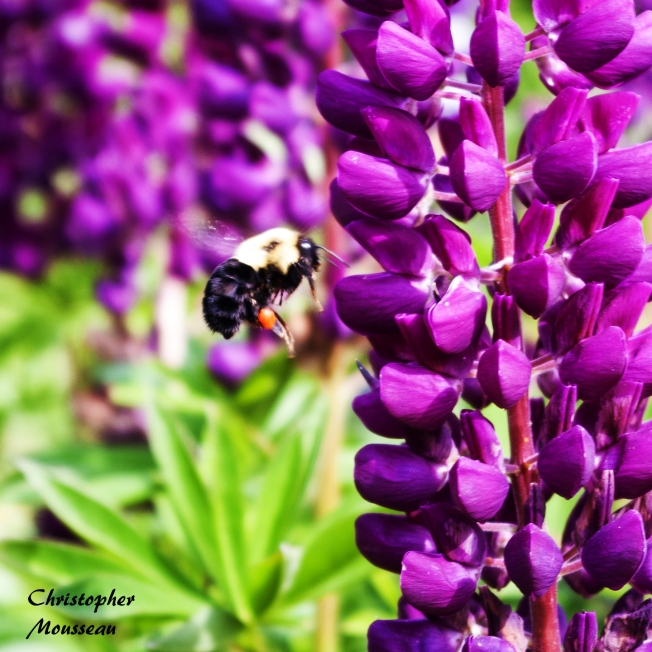 bee and Lupin June 9 2018 sm