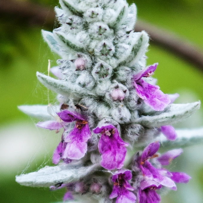 Lamb's Ear - Stachys byzantina June 16 2018